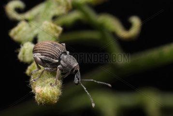 Small weevil on a fern  Australia