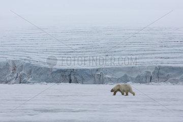 Polar bear (Ursus maritimus) adult male walking on the pack ice  Spitzberg  Svalbard.