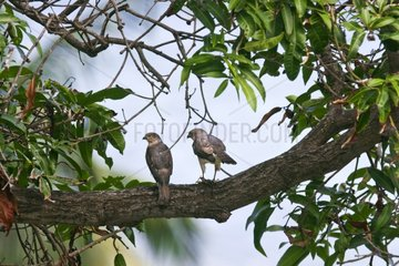 Couple of Frances's Sparrowhawk on a tree Sada Mayotte