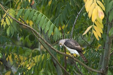 Frances's Sparrowhawk on a branch Sada Mayotte