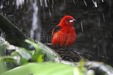 Brazilian Tanager snorting in a tropical greenhouse