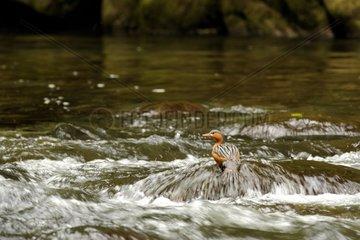 Torrent Duck on a rock Ecuador