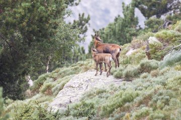 Pyrenean Chamois female and young on rock - Pyrenees France