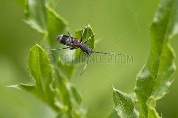 Rufous-shouldered Longhorn Beetle on a leaf - Denmark