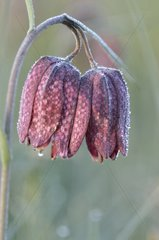 Morning frost on a Snakehead Lily Aquitaine France
