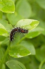 Goldtail Moth caterpillar on leaves - Småland Sweden