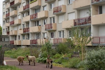 Goat and sheep in an urban garden in a parisian suburbia