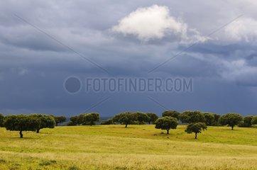 Holm oaks in the dehesa under a cloudy sky in Spain