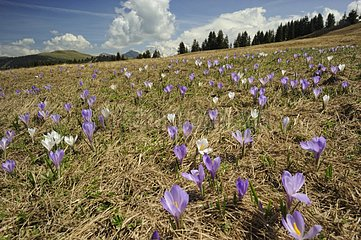 Dutch crocus in the Alps in the spring France