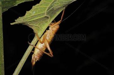 Katydid Bushcricket in the La Amistad NP Costa Rica