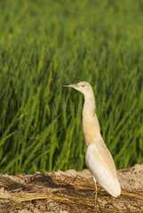 Squacco Heron (Ardeola ralloides). At a low bank of earth between rice fields (Oryza sativa). Environs of the Ebro Delta Nature Reserve  Tarragona province  Catalonia  Spain.