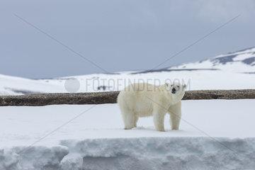 Polar bear (Ursus maritimus) in the snow  Spitsbergen  Svalbard.