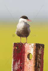 Whiskered Tern (Chlidonias hybrida). Perching on a rusty piece of metal at a broken gate. Environs of the Ebro Delta Nature Reserve  Tarragona province  Catalonia  Spain.