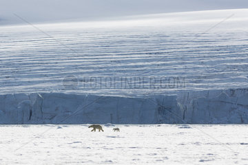 Polar bear (Ursus maritimus) adult female and her seven-month-old cub on the pack ice  Spitzberg  Svalbard.