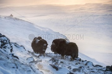 Musk oxes (Ovibos moschatus)  backlit on snowy mountain slope  Dovrefjell Sunndalsfjella National Park  Norway  Europe