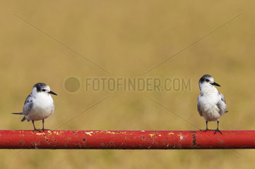 Whiskered Tern (Chlidonias hybrida). Two juveniles. Perching on the bar of a gate. Environs of the Ebro Delta Nature Reserve  Tarragona province  Catalonia  Spain.