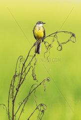 Yellow Wagtail (Motacilla flava). In a rice field. Environs of the Ebro Delta Nature Reserve  Tarragona province  Catalonia  Spain.