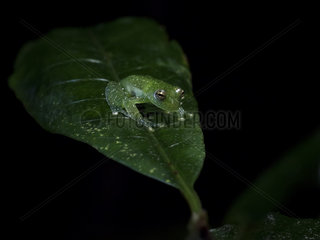 Savage's Glass Frog (Centrolene savagei)  Barbas-Bremen  Colombia  December