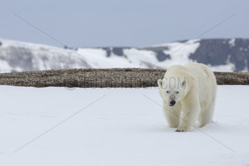 Polar bear (Ursus maritimus) walking in the snow  Spitsbergen  Svalbard.