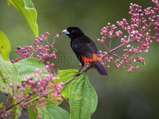 Scarlet-rumped Tanager (Ramphocelus passerinii)  male feeding on berries  Costa Rica  October