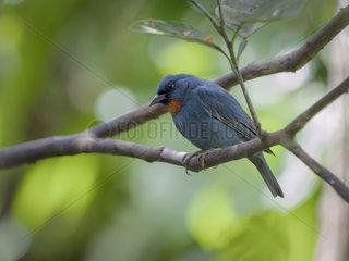 Orangequit (Euneornis campestris)  Montego Bay  Jamaica  February
