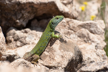 North African Ocellated Lizard (Timon pater tangitana) in stone desert  Morocco