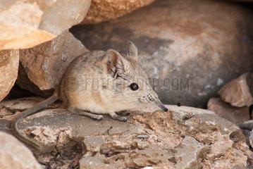 North African elephant shrew (Petrosaltator rozeti)  Morocco