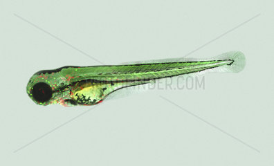 Zebrafish (Danio rerio)  used on cancer research. The use of human oncogenes  often in conjunction with fluorescent reporters to aid the monitoring of tumor initiation and progression  and the isolation and in vivo imaging of cancer cells  demonstrated the cross-species ability of oncogenes to transform zebrafish cells. Similar cancer experiments have been made with mice  but the zebrafish approach may be faster and cheaper  making it accessible for more patients. Cancer research. France