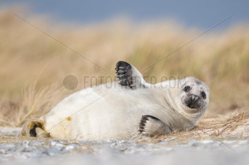 Grey seal (Halichoerus grypus)  young  howler  Heligoland  Schleswig-Holstein  Germany  Europe