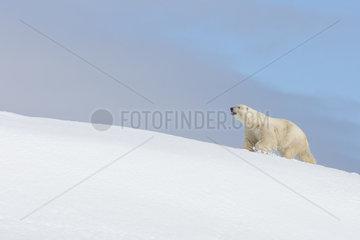 Polar bear (Ursus maritimus) male walking in the snow  Spitsbergen  Svalbard.