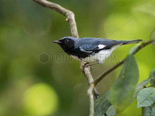 Black-throated Blue Warbler (Setophaga caerulescens)  Montego Bay  Jamaica  February