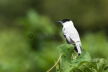 Black-crowned Tityra (Tityra inquisitor) male on a branch  Peru