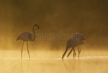 Greater Flamingo (Phoenicopterus roseus). Male approaches a feeding pair. At a cold and misty morning at the Laguna de Fuente de Piedra near the town of Antequera. This is the largest natural lake in Andalusia and Europe's only inland breeding ground for this species. Malaga province  Andalusia  Spain.
