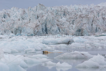 Polar bear (Ursus maritimus) adult male swimming in ice  Wahlenbergfjord  Nordaustlandet  Spitzberg  Svalbard.
