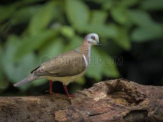 Caribbean dove (Leptotila jamaicensis)  Montego Bay  Jamaica