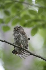 Pygmy Owl adult adult stretching its right wing Switzerland