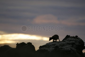 Wrestling of rivalry between Arctic foxes on a rock Iceland