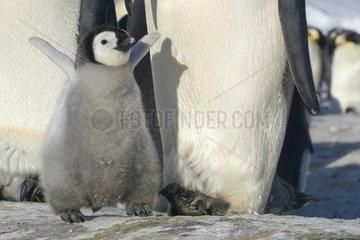 Emperor penguin chick next to its parent - Antarctica