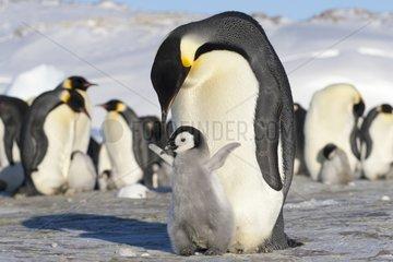 Emperor Penguin near her young - Antarctica