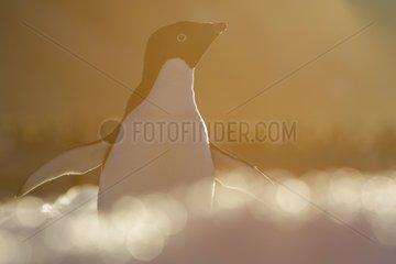 Adélie penguin at sunrise - Ross Sea Antarctic