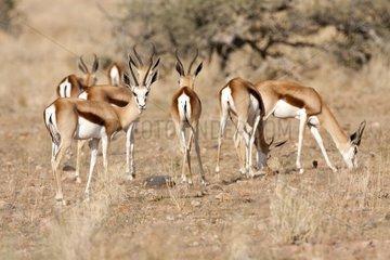 Springboks on savanna - Etosha Namibia