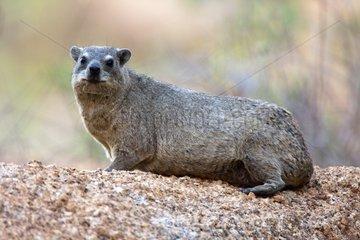 Rock Dassie on rock - Spitzkoppe Namibia
