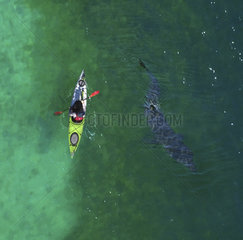 Aerial view of Basking shark  Cetorhinus maximus  and kayak. is the second-largest living shark  after the whale shark  and one of three plankton-eating shark species  along with the whale shark. Adults typically reach 6?8 m (20?26 ft) in length. The gill rakers  dark and bristle-like  are used to catch plankton as water filters through the mouth and over the gills. Despite their large size and threatening appearance  basking sharks are not aggressive and are harmless to humans. The basking shark has long been a commercially important fish  as a source of food  shark fin  animal feed  and shark liver oil. Overexploitation has reduced its populations to the point where some have disappeared and others need protection England