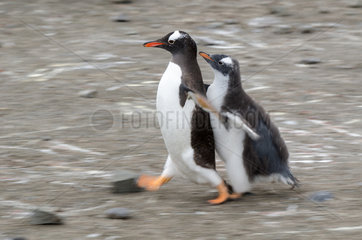 Quivering behavior of a young gentoo penguin (Pygoscelis papua) with one of his parents  Antarctica