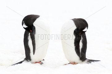 Gentoo penguin (Pygoscelis papua) sleeping  Antarctica
