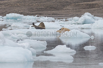 Polar bear (Ursus maritimus) adult male attacking a bearded seal on the ice  Wahlenbergfjord  Nordaustlandet  Spitzberg  Svalbard.