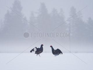 Two Black Grouse (Lyrurus tetrix) go head to head during the Lek in Norway.