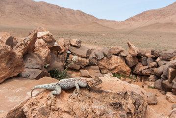 Bibron's Agama (Agama impalearis) in desert  Morocco