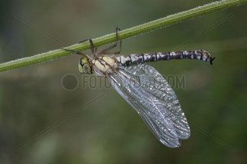Azure hawker (Aeshna cyanea)