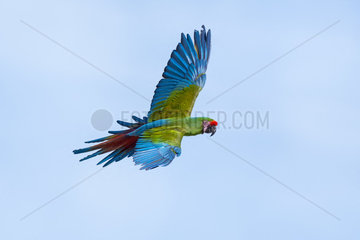 Military Macaw (Ara militaris) in flight  Amazonia Lodge Peru